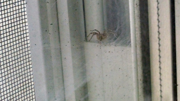 window-spider